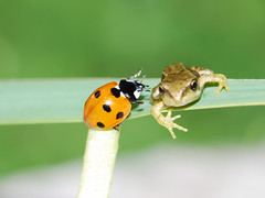Froglet & ladybird (Tam & Sam) Tags: macro insects frogs ladybird