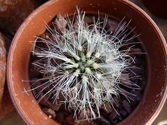 JA89 Copiapoa krainziana (Spiniflores) Tags: grafting injertos pereskiopsis