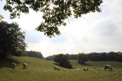 Anker de Chne (L. A. Garchi leo_gricha instgrm) Tags: schweiz cow cows suisse patrick anker sustainable peintre maler charolais boeuf durable serine vich contactme genolier begnins paplan mg6895 boisdechne commejenesuispasdouendessinjaimeparfoiscrerdespeinturesenunclic ucanbuymypicwithbitcoin madeindemocracy