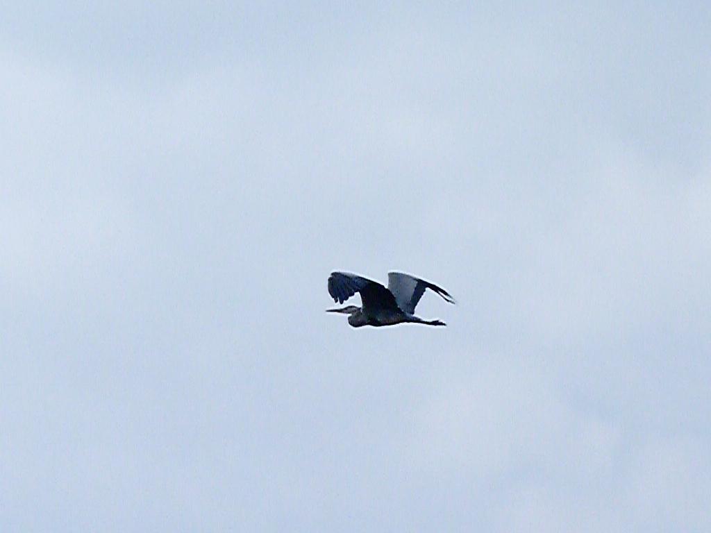 27-10-2011-grey-heron-flight3