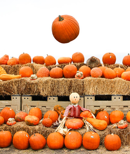Pumpkin Crop-5239