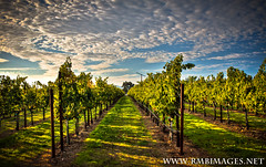 Calistoga Vines (Bowman66) Tags: california tree grass clouds canon fan vines wine calistoga row vineyards poles stakes rmbimages