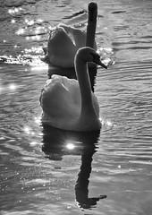 VW9_281011_1218_B&W (Joseph Pearson Images) Tags: blackandwhite bw lake reflection bird water mono swan wildlife surrey virginiawater