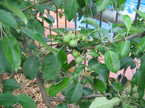 baby apples 2011
