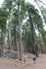 Hiking with a friend on a trail through smell fresh of pine trees (daveynin) Tags: california wood tree giant nationalpark yosemite sequoia mariposagrove ponderosapine sequoiadendron deaftalent deafoutsidetalent deafoutdoortalent