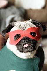 Crime fighting Pug (WeeLittlePiggy) Tags: dog halloween puppy costume turtle pug ninjaturtle