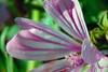 Flor__CSC0297 (Cotallo-nonocot) Tags: flowers españa naturaleza flores flower macro texture textura nature photoshop spain nikon flor adobe macros texturas extremadura caceres plasencia d90 cotallo nonocot texturex