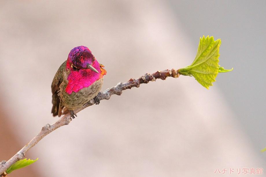 Anna's Hummingbird 103111-3