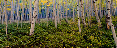 Aspen Blues. Lake City Colorado [Explored] (Steve Flowers) Tags: fall colorado aspens lakecity morningblue nikond7000 nikon1024mmlens