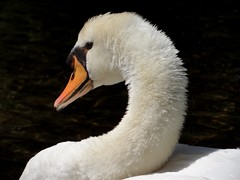 The Swan (brooksbos) Tags: city summer urban white lake bird nature public water pool birds animals boston reflections geotagged ma photography photo pond sony newengland cybershot swans bostonma backbay sonycybershot masschusetts garden public lurvely 02116 boston thatsboston dschx5v hx5v brooksbos