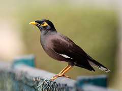 Common Myna (SivamDesign) Tags: bird fauna canon eos rebel kiss x4 myna acridotherestristis commonmyna 550d canonef300mmf4lisusm t2i