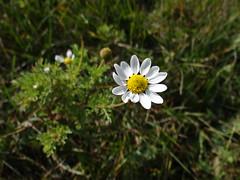 Dog Fennel Whole Plant (corey.raimond) Tags: wisconsin whiteflower flora wildflower asteraceae chamomile dogfennel anthemiscotula