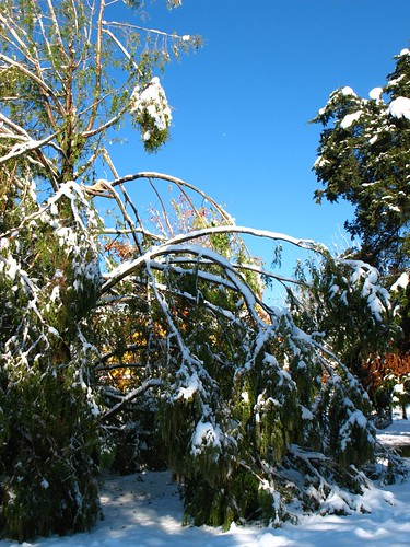 injured Metasequoia: Snowstorm of October 2011, New Jersey