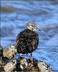 Turnstone (Arenaria interpres) (Shaun's Nature and Wildlife Images....) Tags: birds shaund