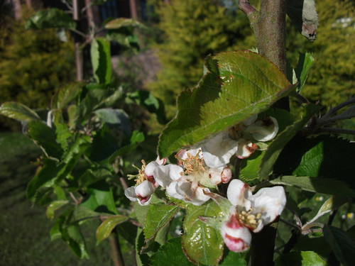 [TREE YEAR] Apple blossom