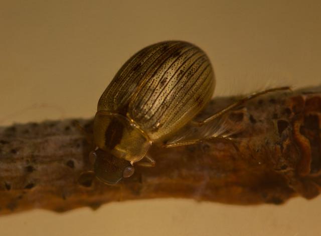 Berosus signaticoillis water scavenger beetle 3