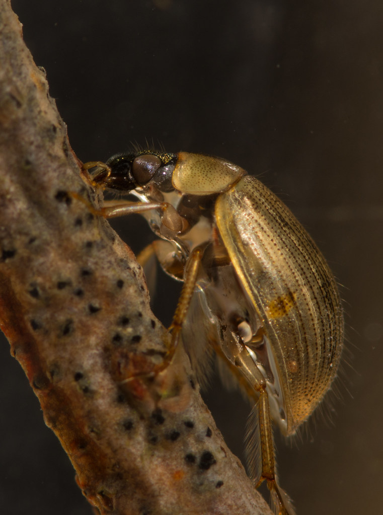 Berosus signaticoillis water scavenger beetle 4