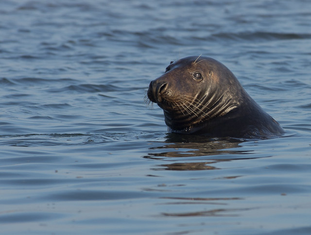 blakeney grey seal in water best 4