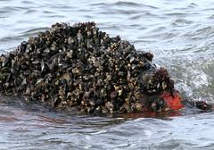 Blue Mussels and Sponge (sandy richard) Tags: longisland beaches wildwood wildwoodstatepark sandyrichard sandrarichard
