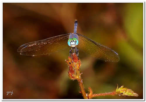 Just another Dragonfly by Yogendra174
