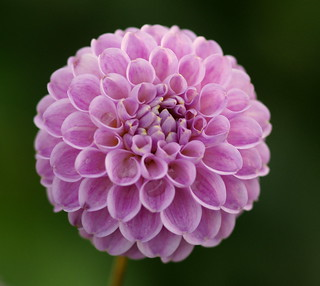 Pompom petalled perfection...