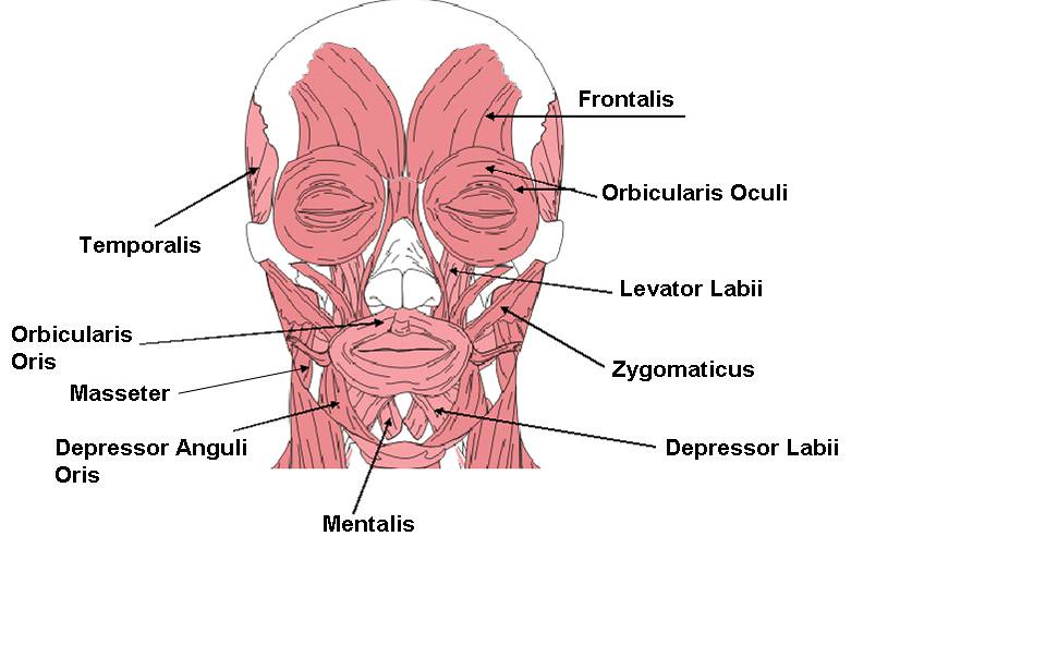 Facial Muscle Diagram
