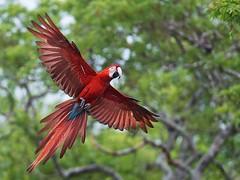 Red-and-green Macaw (Ara chloroptera) (PeterQQ2009) Tags: brazil birds redandgreenmacaw arachloroptera