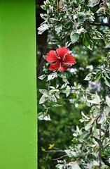 Contrast (Elaine_Gonalves) Tags: red brazil abstract flower verde green rot folhas nature leaves wall brasil contrast wand natureza natur flor brasilien vermelho tropical contraste environment grn blume kontrast bltter abstrato miksang parede abstrakt umwelt tropisch meioambiente contemplativephotography fotografiacontemplativa kontemplativefotografie