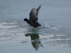 from ice to water .. (Tulay Emekli) Tags: lake ice reflections jump jumping ducks splash coot mogan coots icecovered mogangl sakarmeke coolcoot lakemogan panasonicdmctz20 fromicetowater