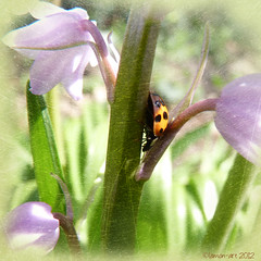 Deep in Bluebell Wood (Lemon~art) Tags: bluebell wood ladybird nature insect beetle orange spot spring march 2012 square textured lemon~art asquaresuperstarstemple insectart