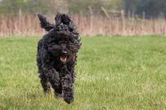 Bouvier fun in the sun! (Oliver C Wright) Tags: dog black run bouvier