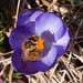 Adirondack spring duo--bee and crocus. Photo: Ed Murphy, Vermontville NY.