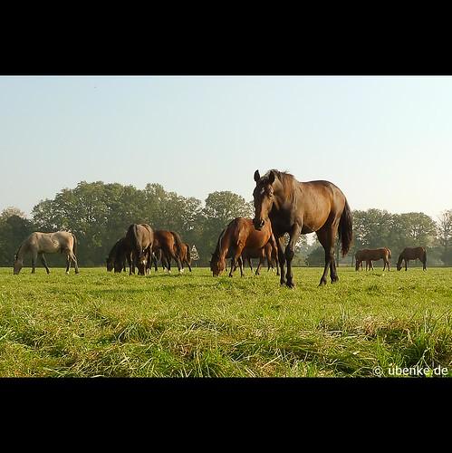 _pferde