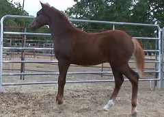 Large Section B Colt (pleasanthillranch) Tags: horses horse animal animals large tags pony chestnut welsh halter colt welshpony showpoints geo:lat=32270357 geo:lon=98829092 equinenow:user=39592