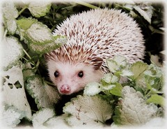 Mr. Prickles (~Beka) Tags: pet animal garden outside spike hedgehog quills blinkagain bestofblinkwinners