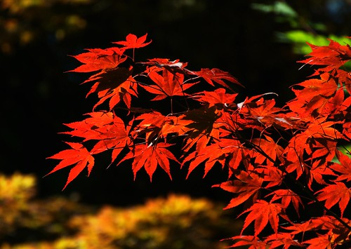 Japanese maples in Portland