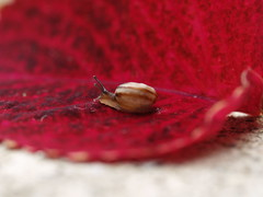 on a red leaf (groovyholly) Tags: gardensnail littlesnail smallsnail teenyweenysnail snailonaredleaf