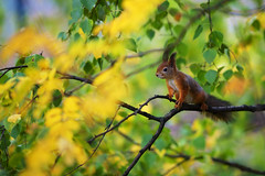 Orava (Timo Vehvilinen) Tags: autumn fall animal squirrel dof bokeh orava elin syksy redsquirrel sciurusvulgaris canonef135mmf2l