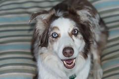 Zoey (Cyn Reynolds) Tags: blue rescue dog sandiego aussie 2011 lagunamountain a550