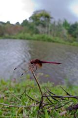 Dragonfly (Jnarin) Tags: dragonfly bangalore brhills sigma15mmf28exdgdiagonalfisheye canoneos1dmarkiii fisheyemacro aroundbangalore niranjvaidyanathan gorukana