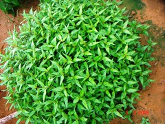 Persicaria odorata (Lour.) Soják