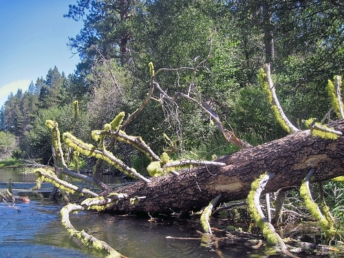Large wood plays many roles in river systems, including providing needed structure for the proper channel conditions in a stream, enhancing the production of aquatic invertebrates - which provide food for the trout - and essential cover for juvenile and adult fish.