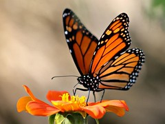 Migrating Monarch Butterfly (donsutherland1) Tags: autumn ny newyork fall nature butterfly insect october monarch migration soe migrating giveme5 monarchbutterfly mamaroneck mexicansunflower greatphotographers topshots bej fantasticnature natureplus colorphotoaward flickraward flowersarebeautiful natureselegantshots saariysqualitypictures thebestofmimamorsgroups mygearandme mygearandmepremium mygearandmebronze mygearandmesilver mygearandmegold mygearandmeplatinum mygearandmediamond gigilivornosfriends allnaturesparadise artistoftheyearlevel2