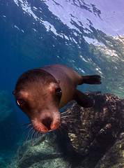 slpup8372 (gerb) Tags: blue 510fav eyes topv333 underwater scuba fv5 sealion lapaz animalplanet seaofcortez aquatica losislotes citrit d7000 sigma1017fe