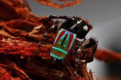 Maratus volans 2 (FISHNROBO) Tags: red colour macro green nature closeup insect newcastle fun spider bush close natural native wildlife australia cannon robo salticidae fishnrobo