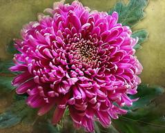 big beauty (maar73) Tags: flowers autumn flower macro texture nature photo flora october sony herfst natuur bloom bloemen blooming bloem seizoen pictures seasson crysant skeletalmess mygearandme ringexcellence maar73 sonyslta55