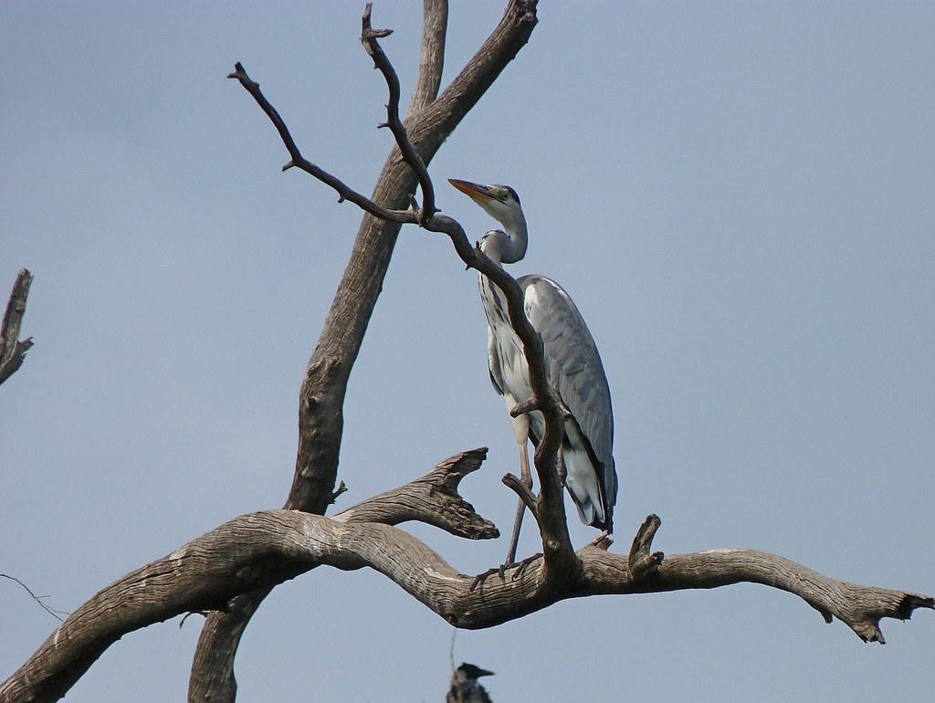 27-10-2011-grey-heron