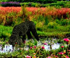 Summer Now a Watercolor (ebonique/ANJELIQUE) Tags: dog black blackdog poodle pictureperfect standardpoodle cherryontop supershot ebbie flickrsbest blackstandardpoodle impressedbeauty flickrdiamond citrit overtheexcellence lizasgarden damniwishidtakenthat dragondaggeraward animalsartgallery newgoldenseal