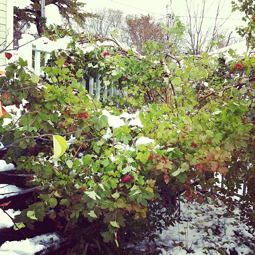 our poor 15' viburnum