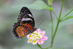 Schmetterling 8 (hellboy2503) Tags: orange flower nature canon butterfly germany natur butterflies blumen images 100mm gelb 7d getty blau falter makro bltter gettyimages jrg schmetterling nektar wonderfulworldofmacro gettyimagescallforartists gettyimagesartistpicks hellboy2503